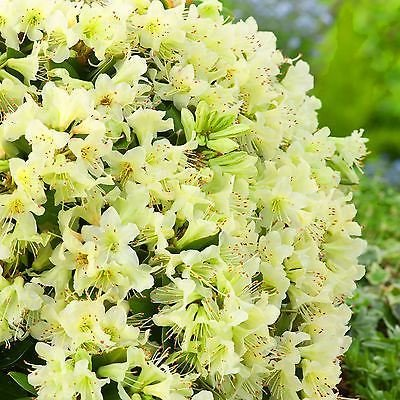 Рододендрон жълт  (Rhododendron Golden Wonder)