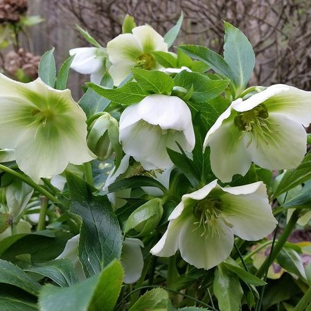 Кукуряк  'White Lady' / Helleborus × hybridus 'White Lady'